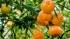 Quy trình kỹ thuật trồng cam, quýt