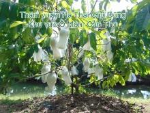 Mô hình trồng Na Thái Cần Thơ