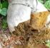 thúi củ ( thúi khô )
