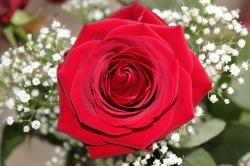 Hoa hồng bụi Red Bacara