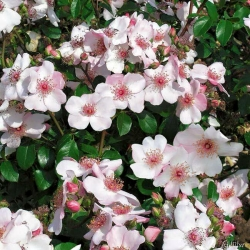 Hoa hồng bụi Sweet pretty