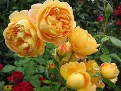 Hoa hồng leo Golden Celebration