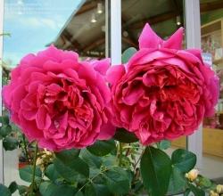 Hoa hồng leo Lady of Meggich