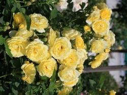 Hoa hồng leo Yellow My Love