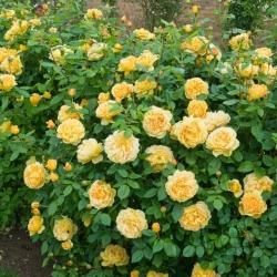 Hoa hồng ngoại Charlotte