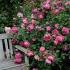 Vườn hồng đẹp như ở Châu Âu trên sân thượng bà mẹ hai con