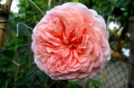 Hoa hồng Araham Darby
