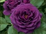 Hoa hồng bụi Ebb Tide