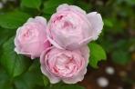 Hoa hồng bụi St. Ethelburga