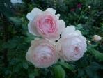 Hoa hồng Heritage