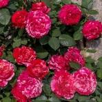 Hoa hồng leo Best Impression