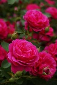Hoa hồng leo Sir John Betjeman
