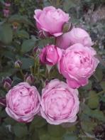 Hoa hồng leo Soeur Emmanuelle