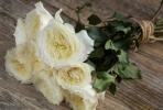 Hoa hồng Patience