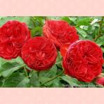 Hoa hồng Traviata