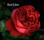 Hồng leo Red Eden